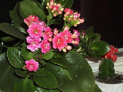 Домашние цветы каланхоэ