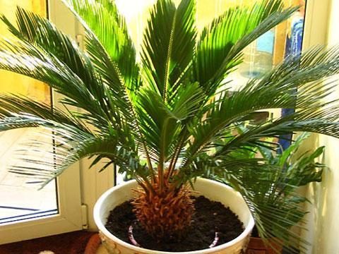 Пальма для дома