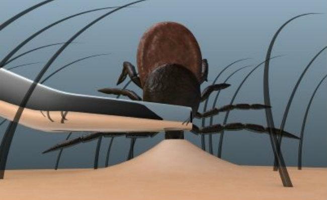 Как вынуть клеща из тела