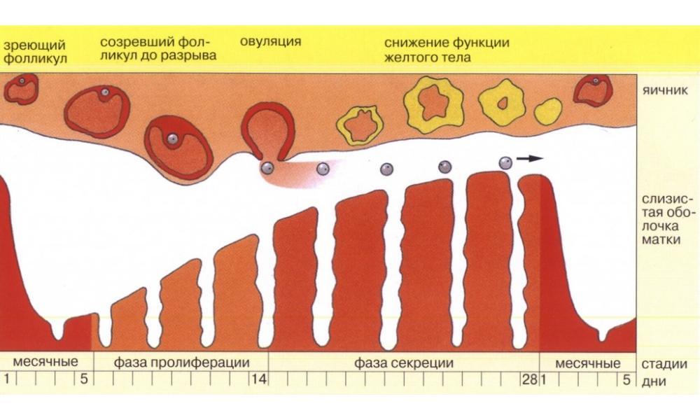 Почему месячные стали идти дольше