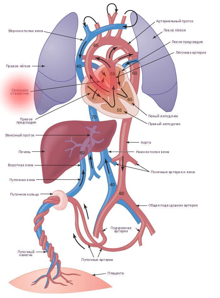 Овальное окошко в сердце новорожденного