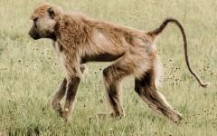 Как люди потеряли хвосты: новое исследование, которое объясняет, почему у обезьян есть хвосты, а у людей нет