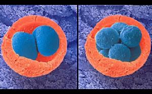 Эмбрион на 3 неделе беременности