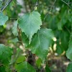 Средство от отеков под глазами - лосьон из листьев березы