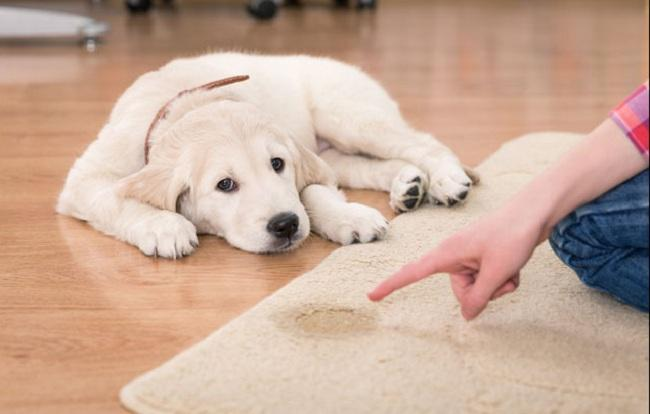 Как убрать собачий запах с ковра и мебели