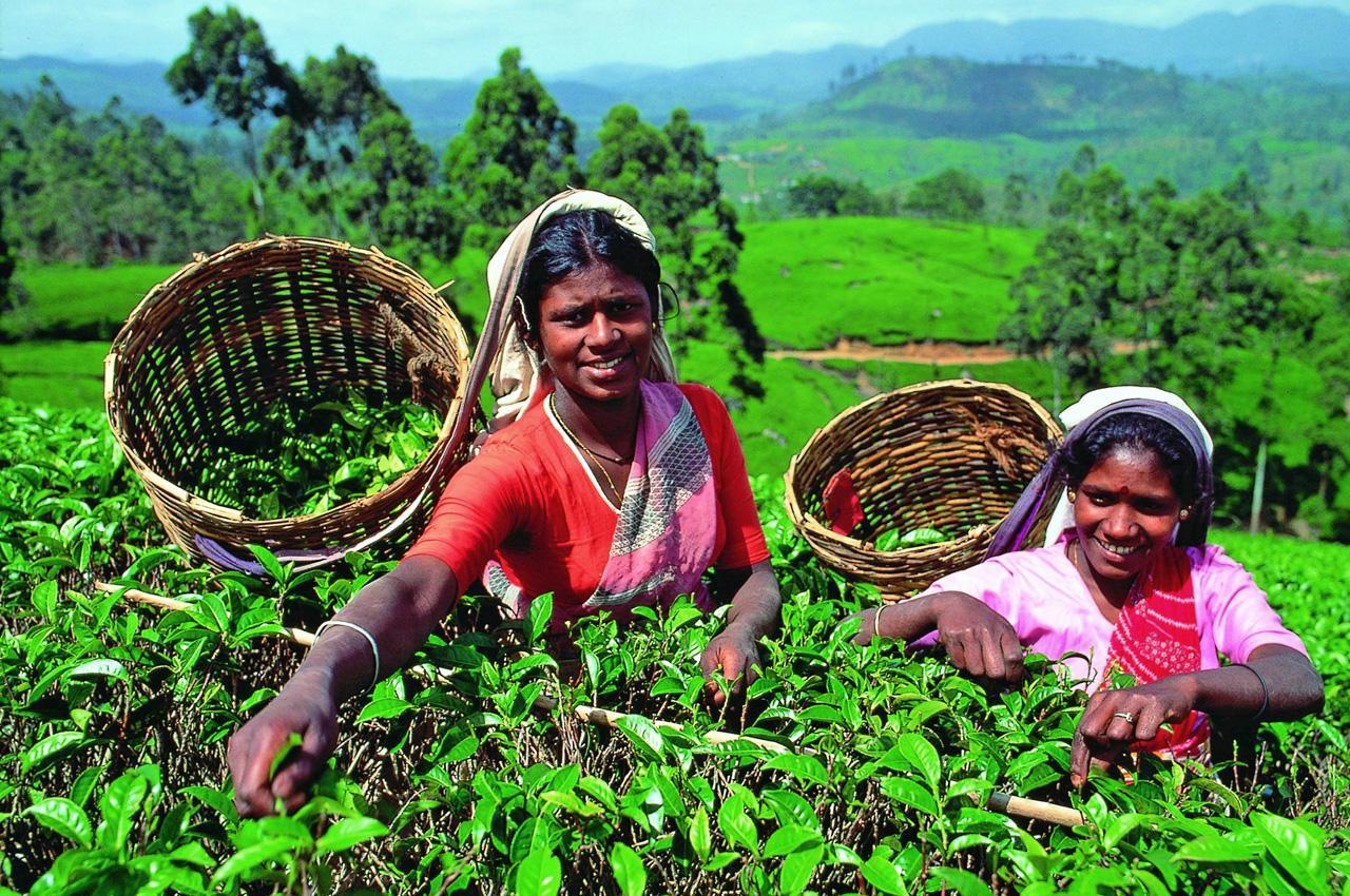 Шри-Ланка, чай