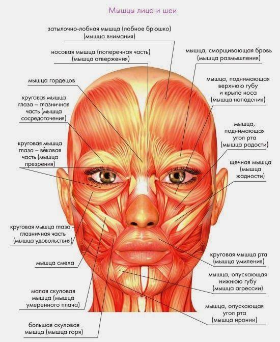 Схематическое изображение мышц на лице