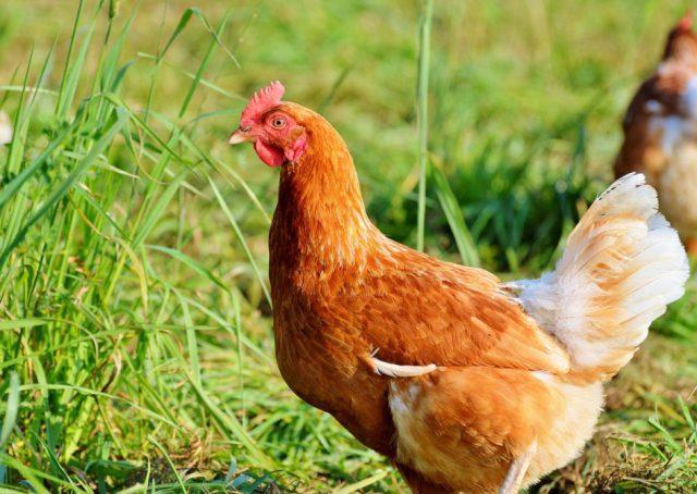 Суеверия о курице