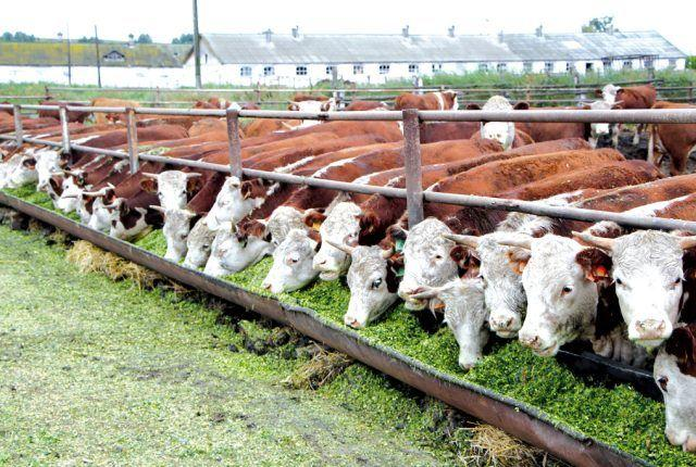 Мясо бычков на травяном откорме
