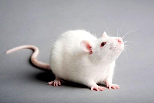 2020 год белой крысы