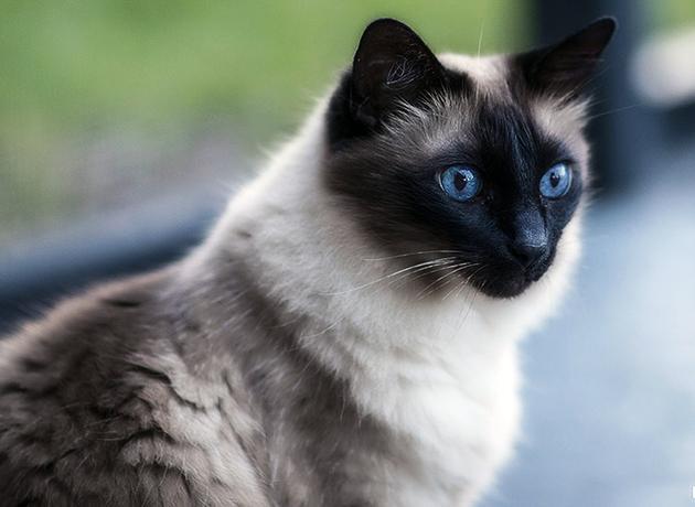 балинезийская кошка