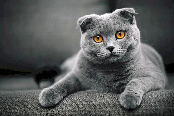 шотландска кошка