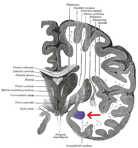 Миндалевидное тело